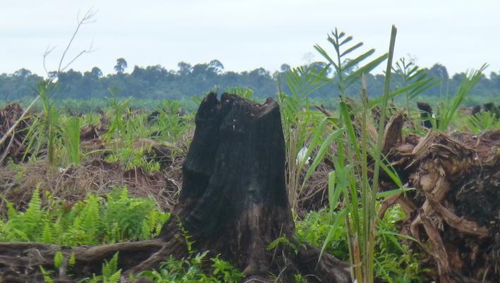 Bornéu - áreas naturais destruídas para plantação de palma de óleo