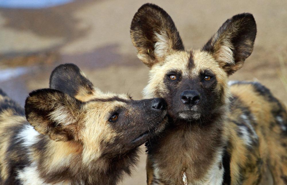 African wild dogs (c) bayazed_Shutterstock_649070626.jpg