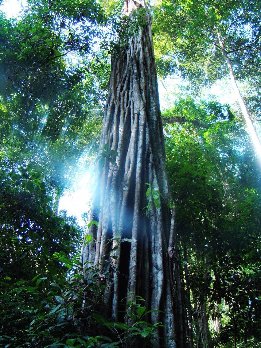 Tree-Acaricuara.jpg