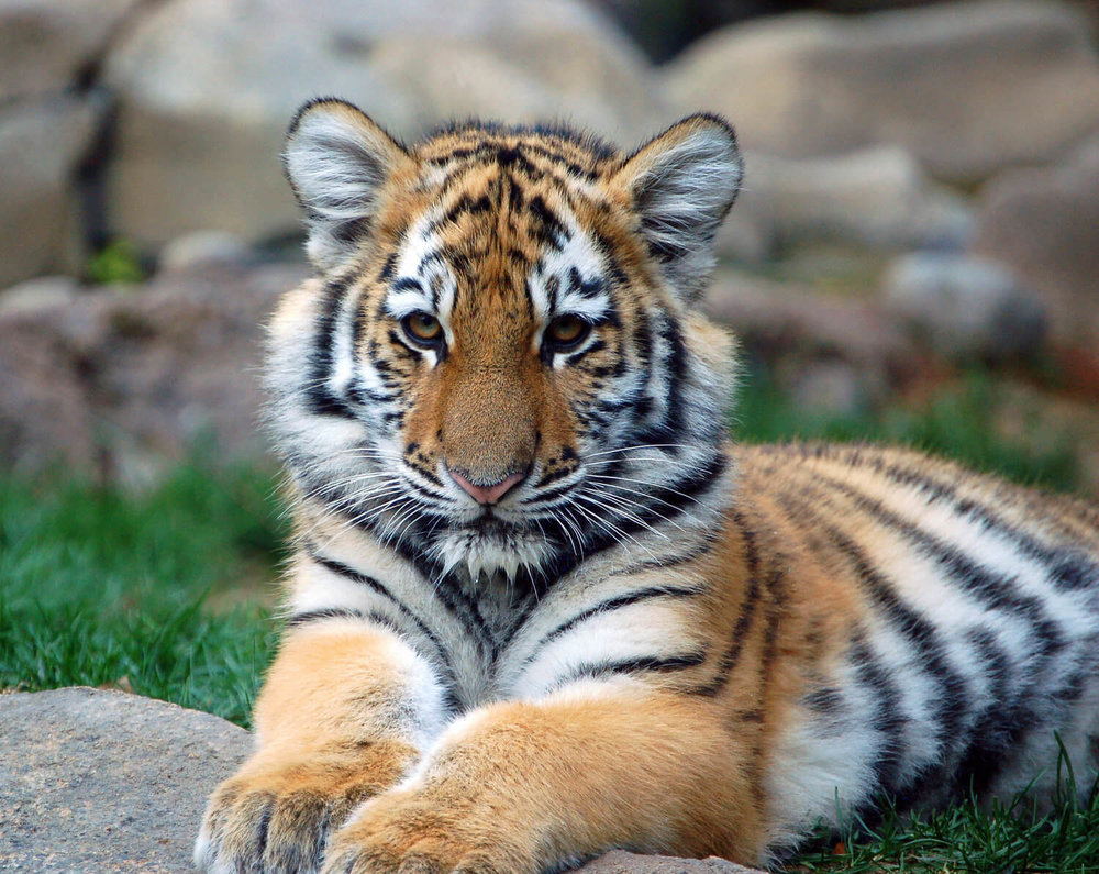 tiger-cub.jpg