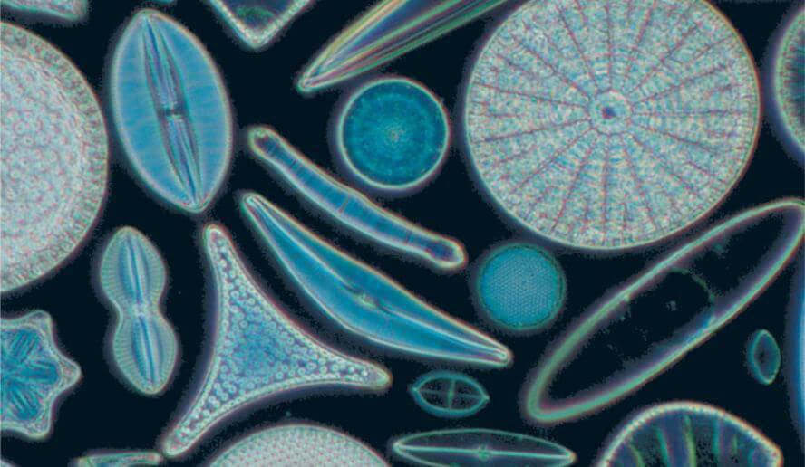 Diatoms -- nearly microscopic in size but brilliant in their diversity.