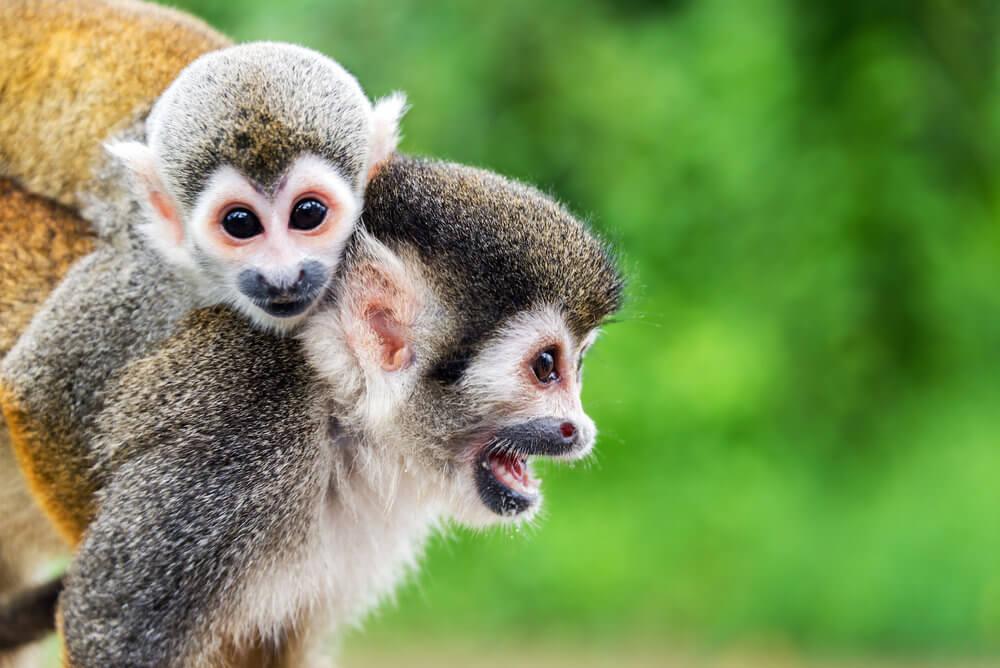 Monkey-squirrel-(c)+Jess+Kraft_shutterstock_278805605.jpg
