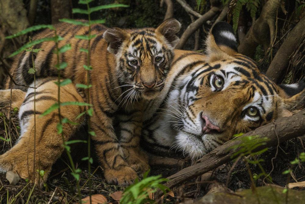 Tiger-Mayur Onlly-Shutterstock_578935336.jpg
