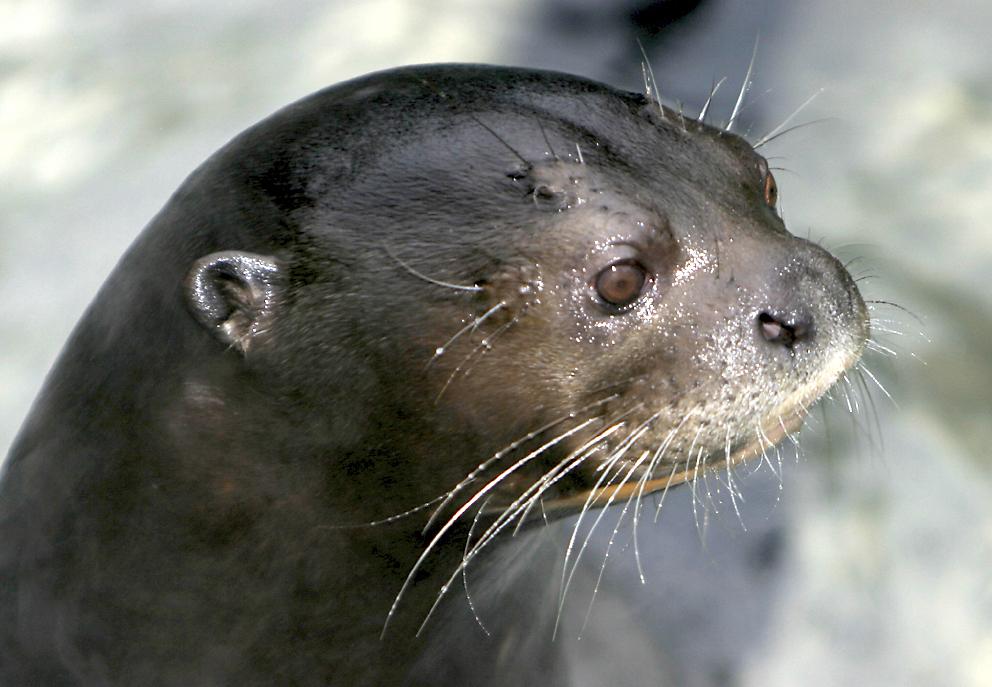 Giant-otter4.jpg