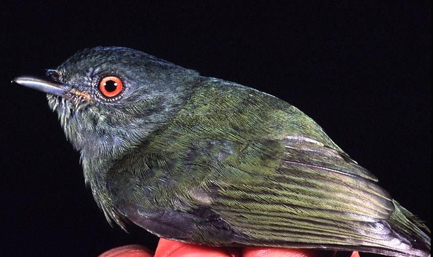 Bird-pipra.jpg