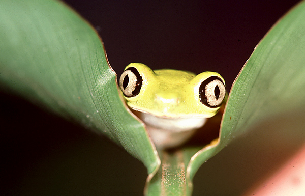 Frog-Panama2.jpg