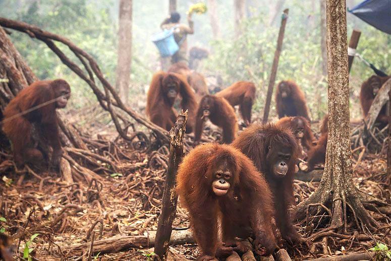 orangutans-fire-MAIN.jpg