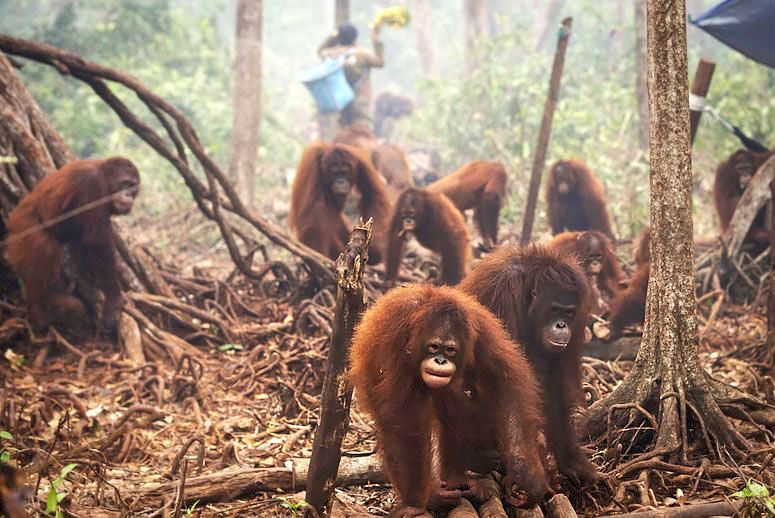 orangotangos-fogo-MAIN.jpg
