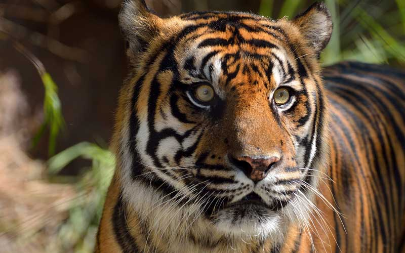 Sumatran_tiger-1.jpg