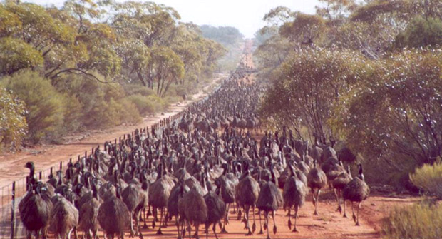 Emus attempting to cross a rabbit-proof fence in Western Australia