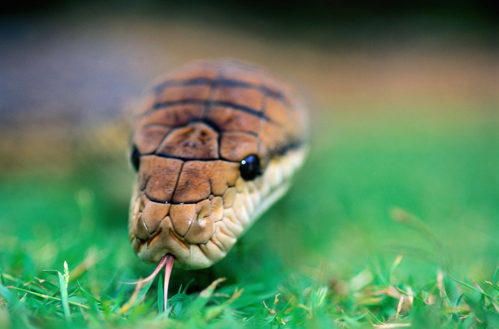 Amesthetine Python-GettyImages-70009920-(c) Theo Allofs.jpg
