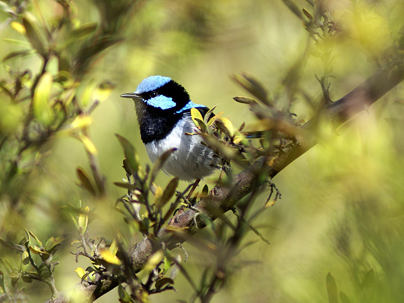 Fairy-Wren-Superb.jpg