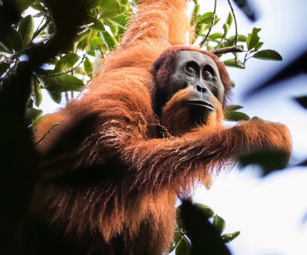 Orangutan-Tapanuli-Maxime Aliaga-79.jpeg