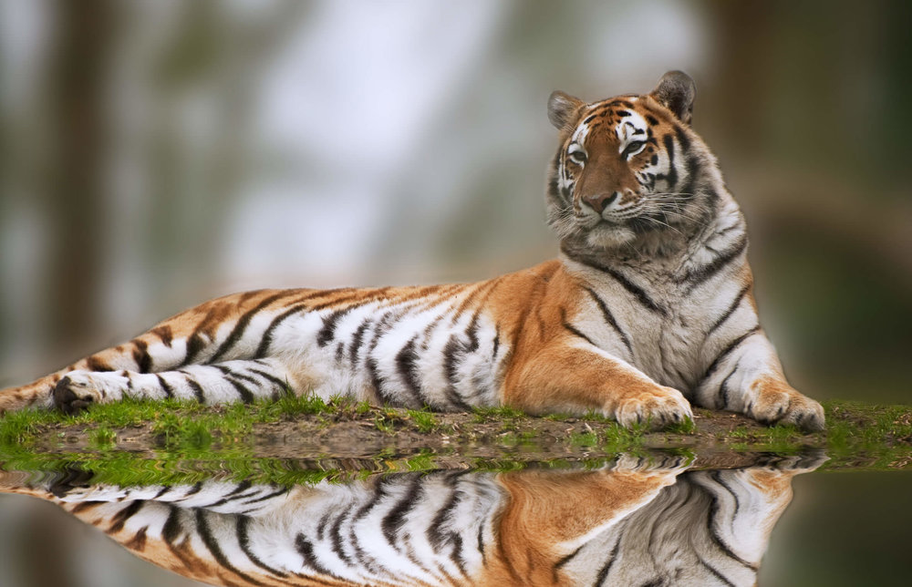 Tiger-shutterstock_74359918-copyright+Matt+Gibson.jpg