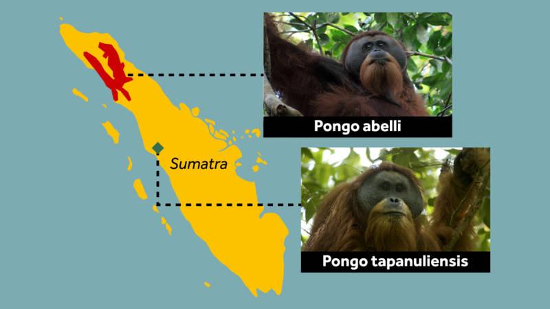 Orangutan-Tapanuli-map.jpg