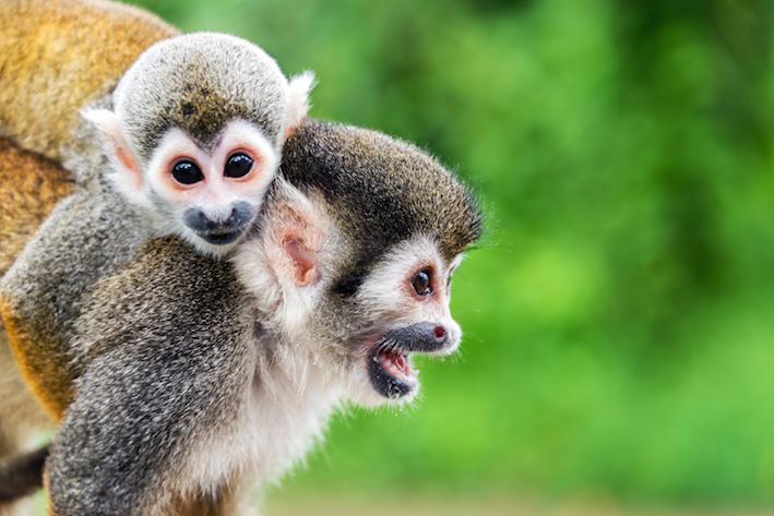 Monkey-squirrel-(c) Jess Kraft_shutterstock_278805605.jpg
