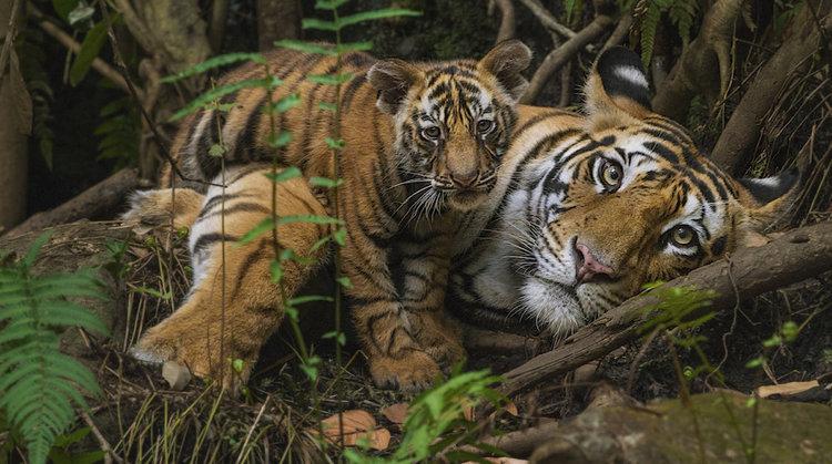TIger & cub.jpg