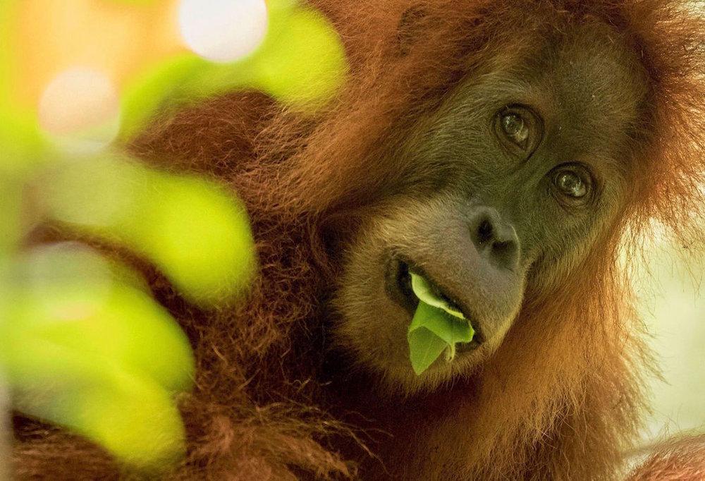 Orangutan-Tapanuli-Maxime Aliaga1.jpg