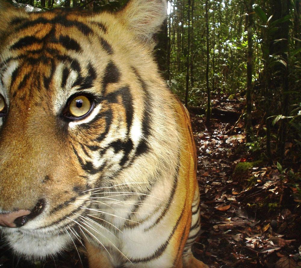 Tiger-Sumatran-Batang Toru-SOCP.jpeg