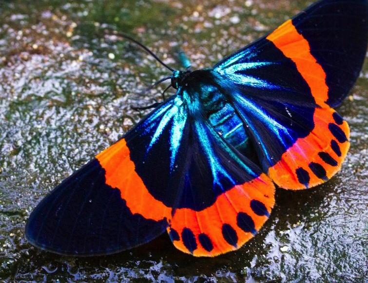 Butterfly-Batang Toru-SOCP.jpeg