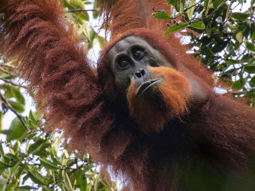 Orangutan-Tapanuli-Maxime Aliaga6.jpg