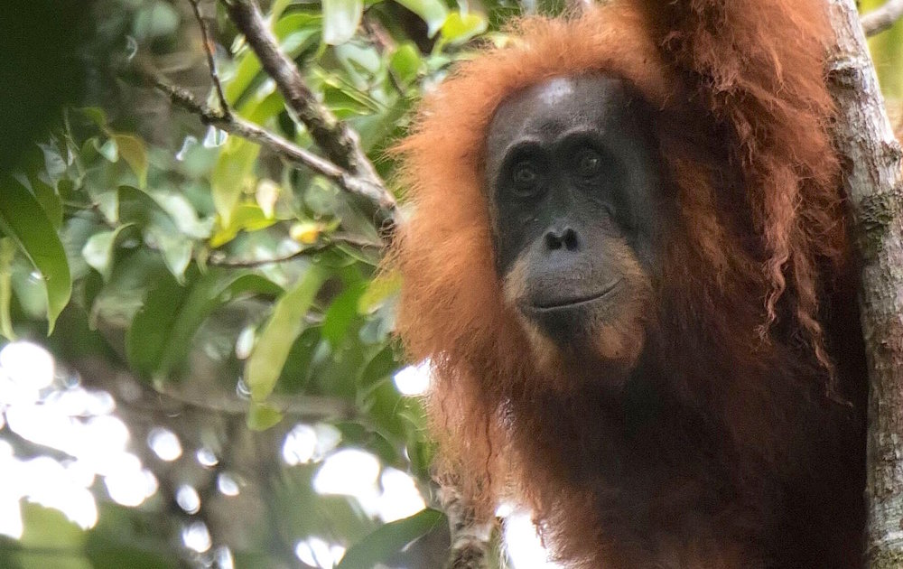 Orangutan-Tapanuli-SOCP-Jonas Landolt.jpeg