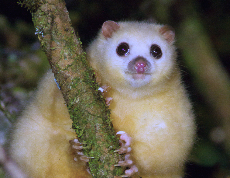 white-lemuroid-possum.jpg