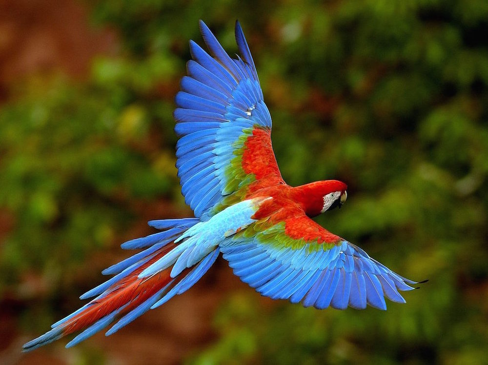 Red & Green macaw-Pete Oxford.jpg