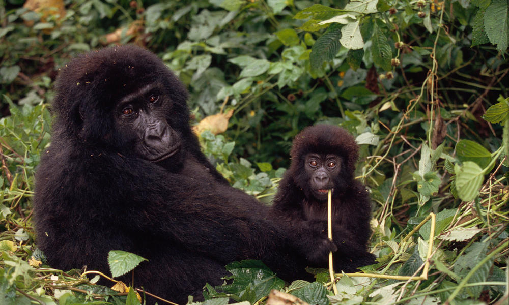 MID_51149gorilla-congo-species.jpg