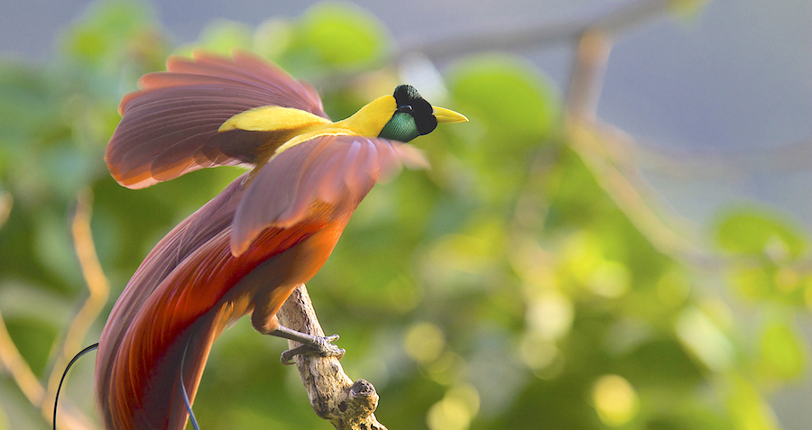 Bird of paradise- Greater.jpeg