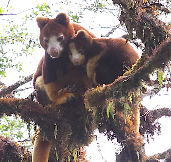 Tree-kangaroos-PNG-Mark Ziembicki.jpg
