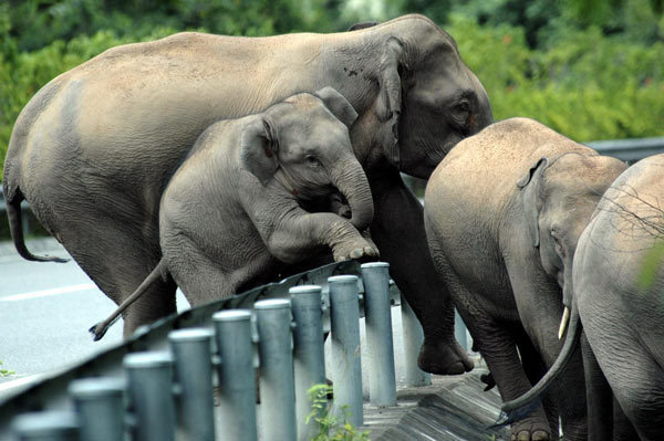 Road-Elephants-Wild elephants climb expressway guardrails in Xishuangbanna NNR China.org.cn[1].jpg