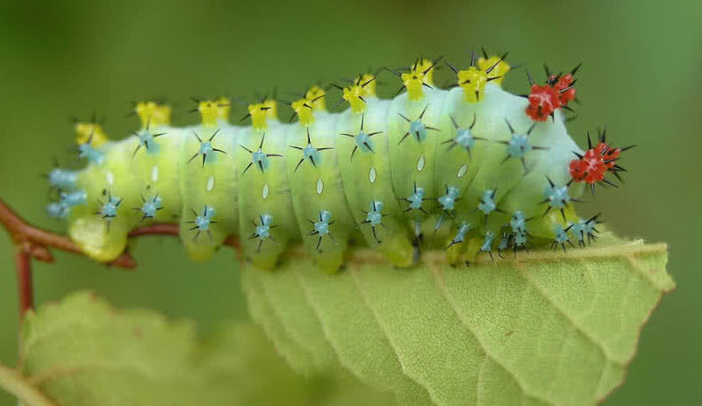 cecropia-moth-caterpillar.jpg