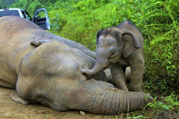 Borneo elephant.jpeg