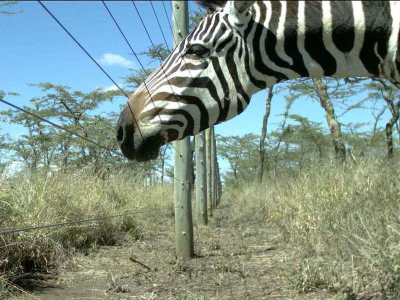 zebra-fence.jpeg