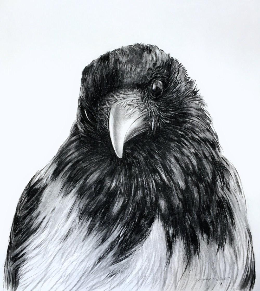 """Scotch Crow,  charcoal on paper, 36"""" x 42"""", 2017."""