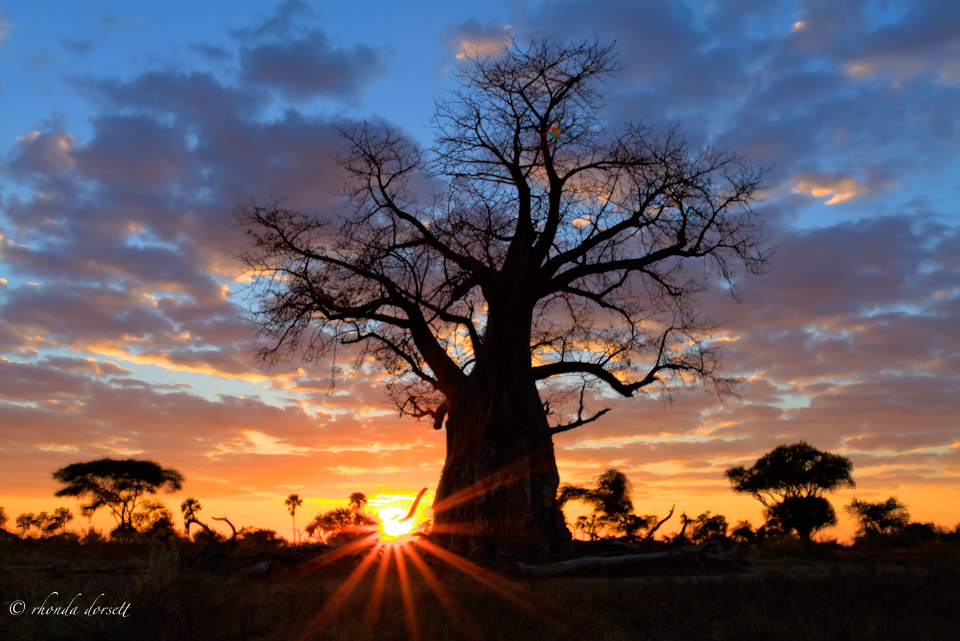 The Baobab Tree, Botswana Africa             Featured photo for Large Format demonstrating Non-Glossy Photographic Paper