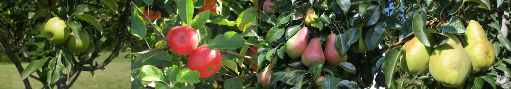 See our full assortment of apples & pears...