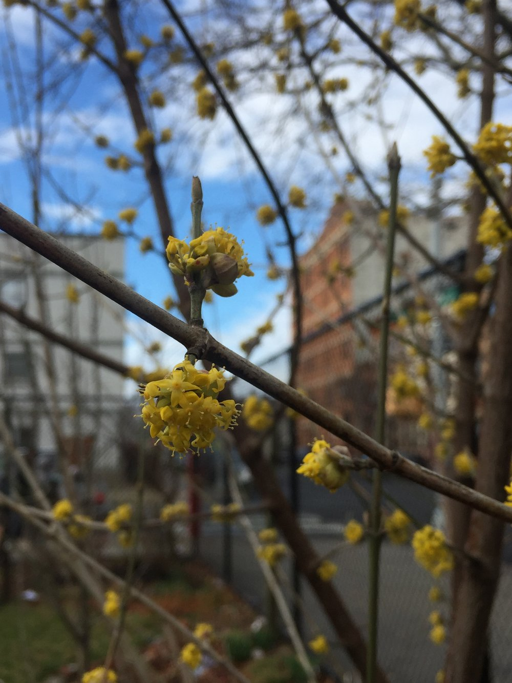 Patchen Community Square's Cornelian Cherry Dogwood