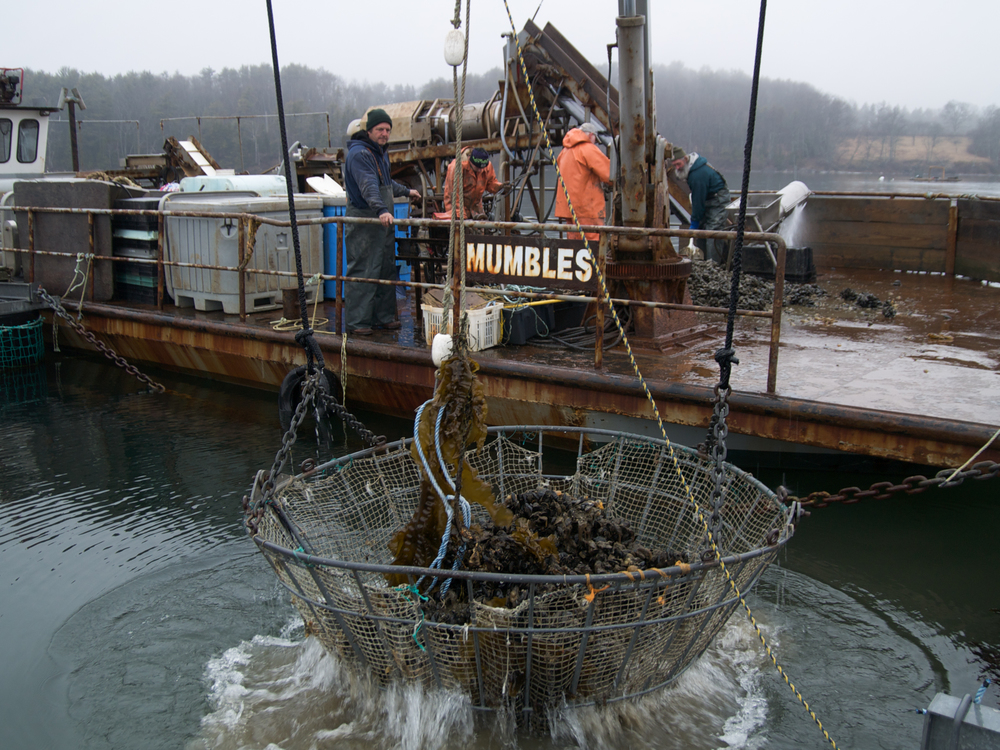"(04/04/09) Carter Newell uses a basket to lift heavy ropes, laden with mussels, onto the deck of his boat Mumbles. Carter once studied in Wales, in a town called Mumbles (an old viking word for breasts) which was distinguished by two large hills in the background. When the mussel barge was first built, Carter saw the pontoons on the bottom and thought to himself, ""those look exactly like mumbles..."""