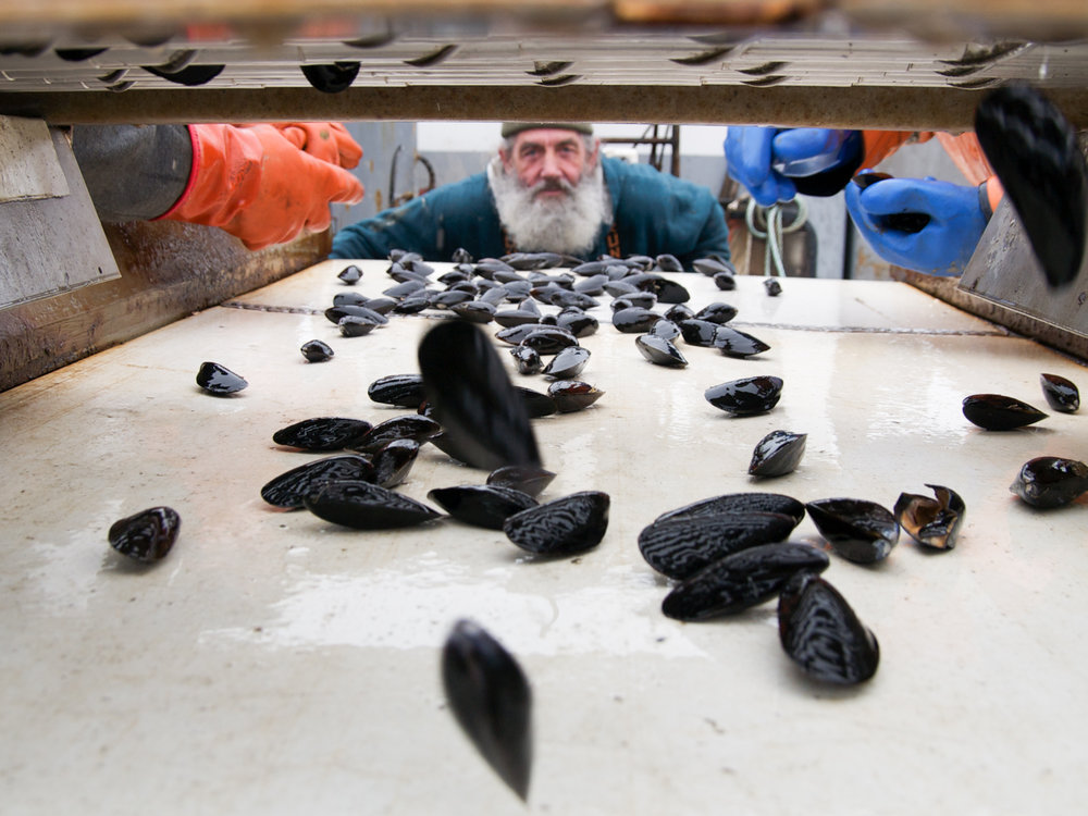 (04/04/09) Joe Larrabee looks down a conveyer belt where he and others are sorting through the day's haul of mussels.
