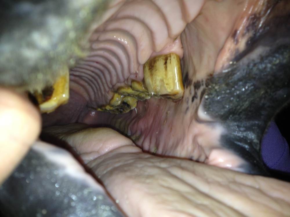 This photo shows a combination of several problems commonly affecting older horses, including a step defect, wave mouth, fractured tooth/ open pulp cavity, and periodontal pocket.