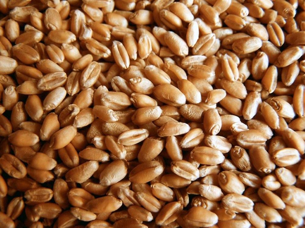 wheatgrass1.jpg
