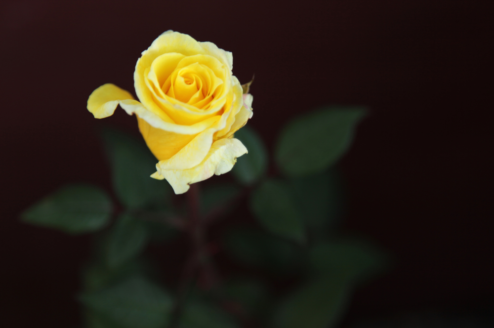 Yellow Spring Rose