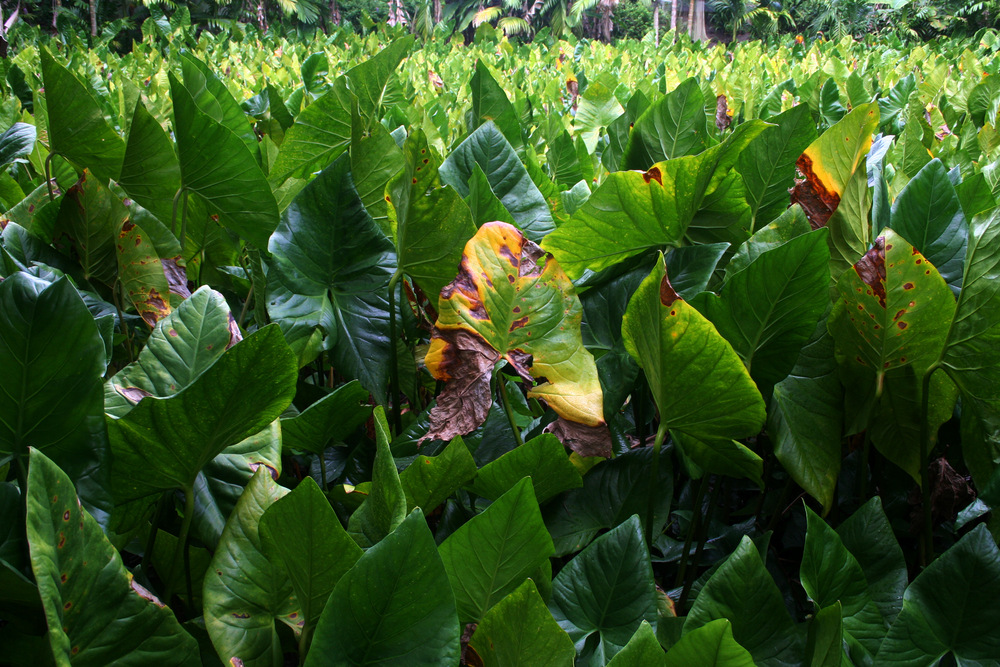 A taro field on Eauripik. Taro is the island's staple food.