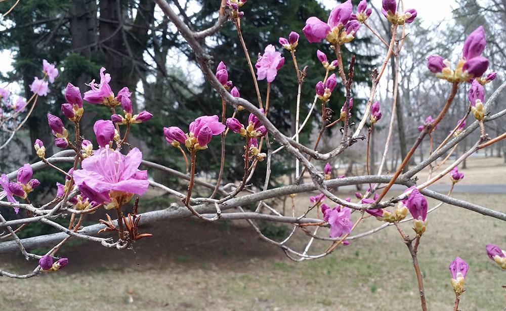 2015-04-14-azalea.jpg