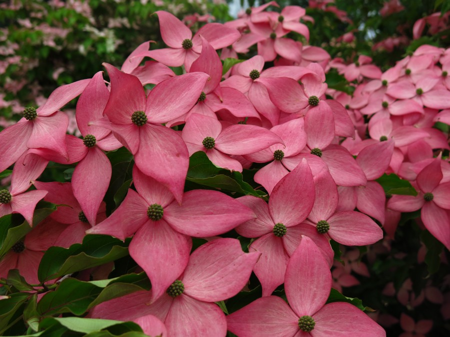 Rutgers' newest release, Cornus kousa 'Rutpink' Scarlet Fire™ with photo credit to Rare Find Nursery in Jackson, NJ
