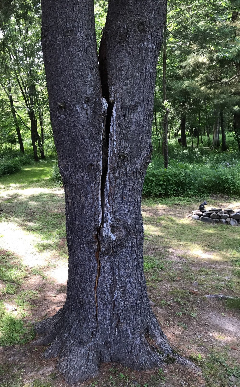 tree-risk-assessment-split-trunk.jpg