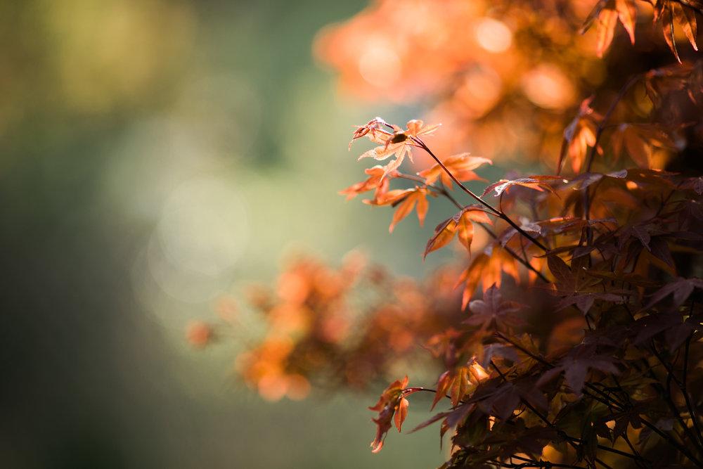 Japanese maple leaves in Wakefield, RI