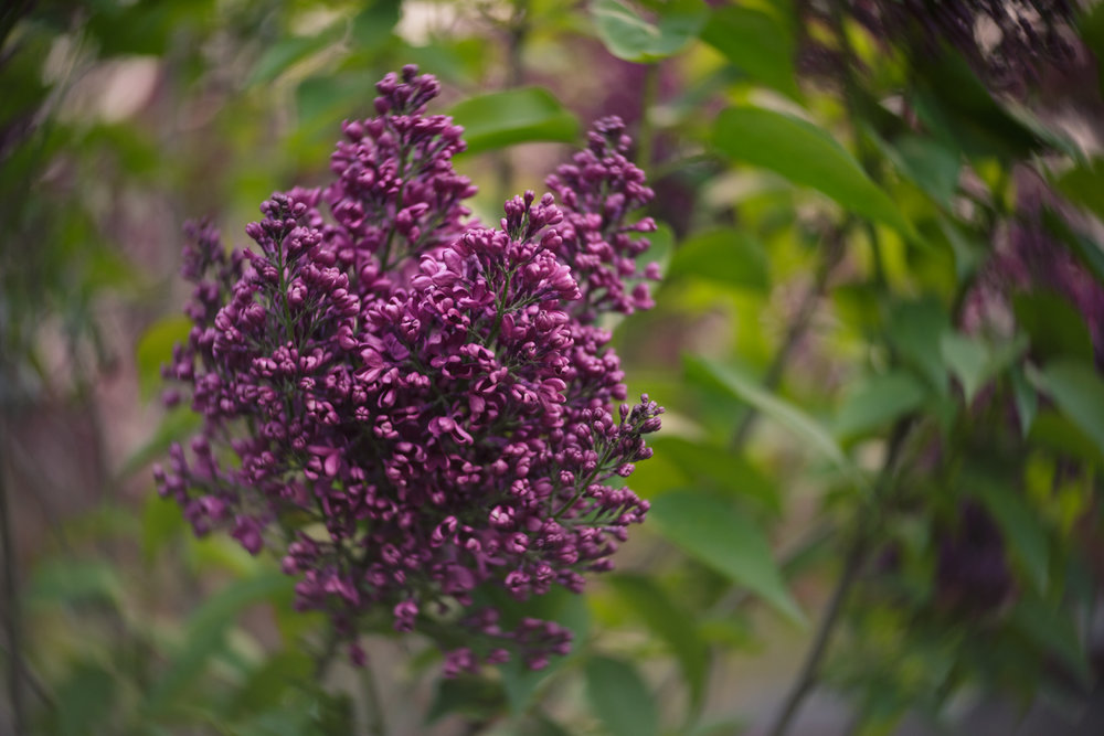Lilacs in Wakefield, RI photographed with Lensbaby Twist 60
